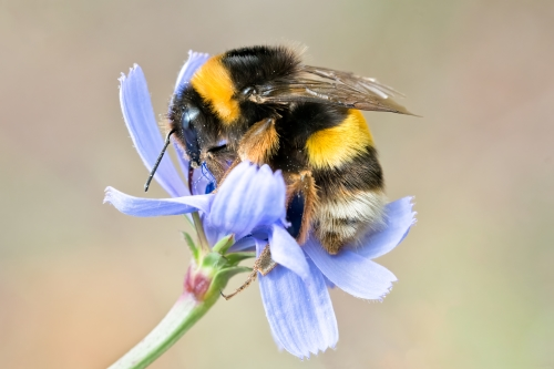 Bumblebees speed up flowering